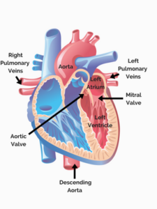 Blood flow through the heart nursing school of success this oxygen rich oxygenated blood moves from the lungs into the left atrium via the left and right pulmonary veins the blood then moves from the left ccuart Image collections